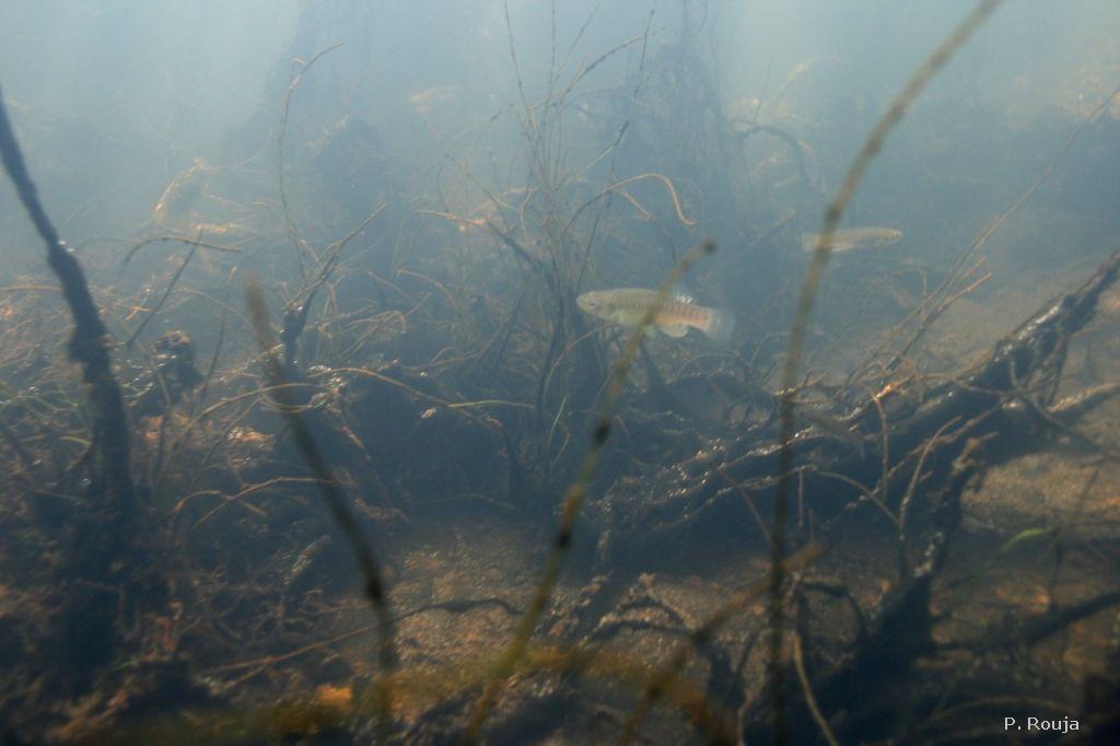killifish bartrams pond