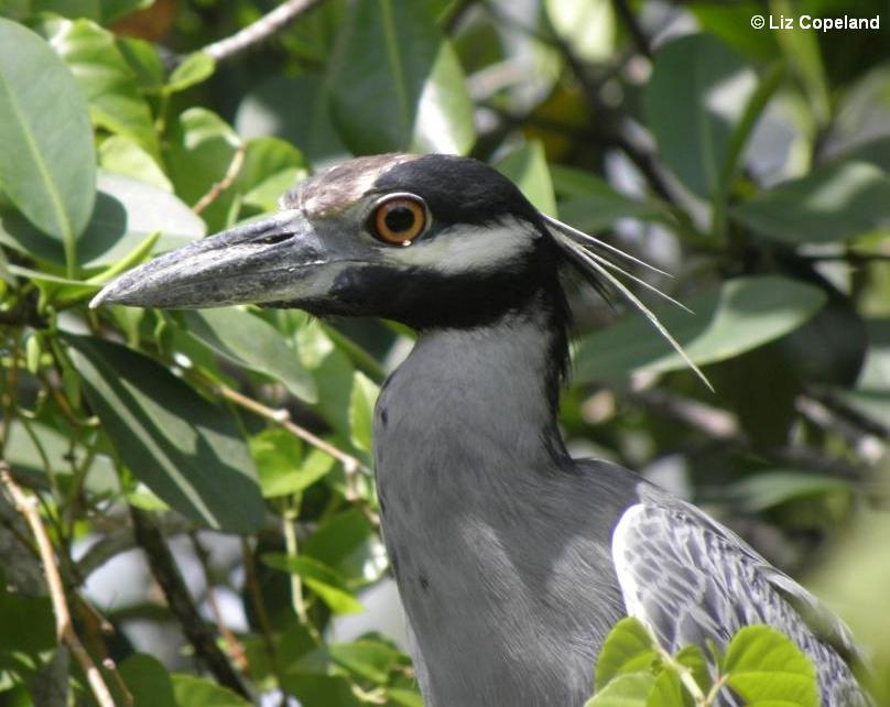 night heron face_l.jpg