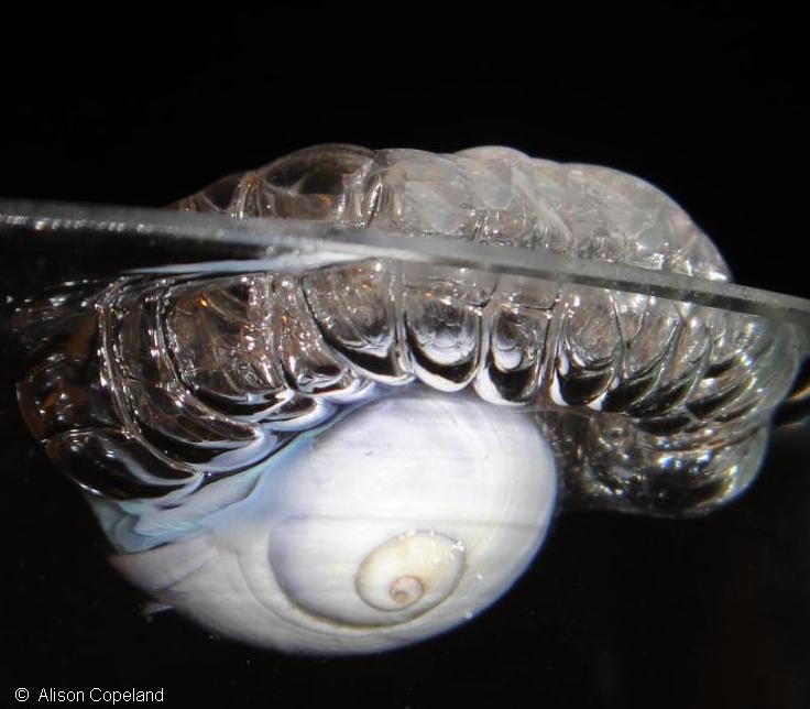Purple Ocean Snail Janthina