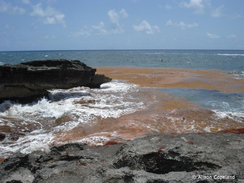 Sargassum raft