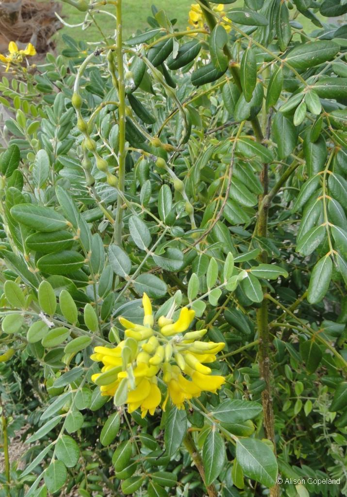 Coast Sophora Flower