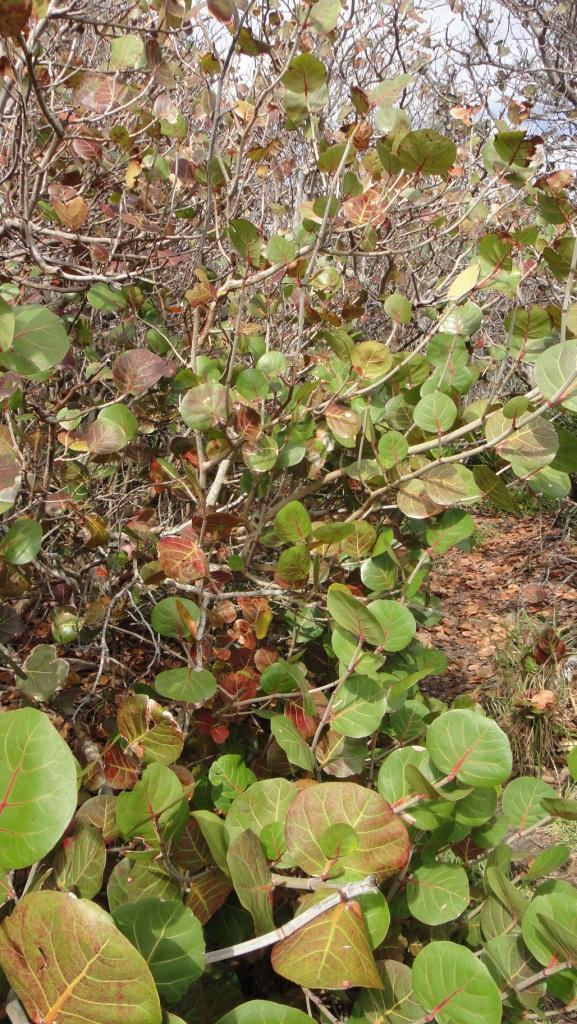 Bay Grape Leaves