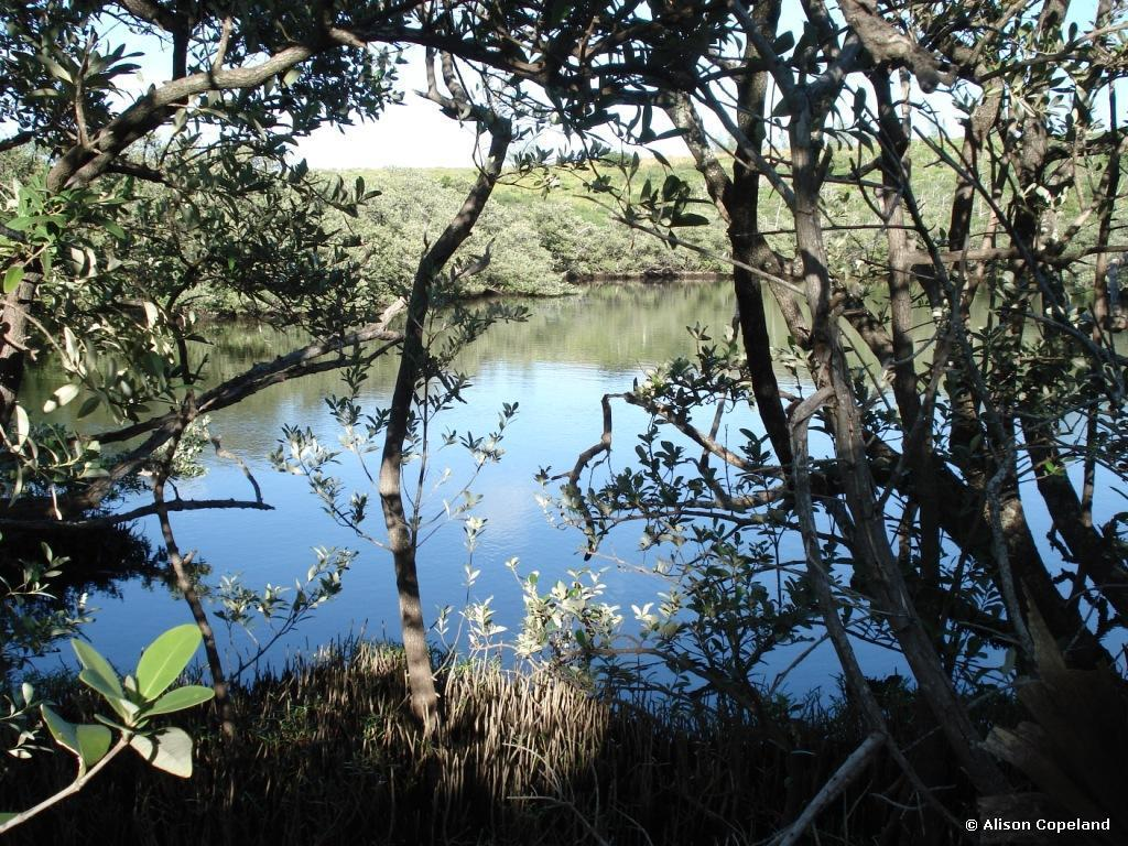 Black Mangroves at Lover's Lake