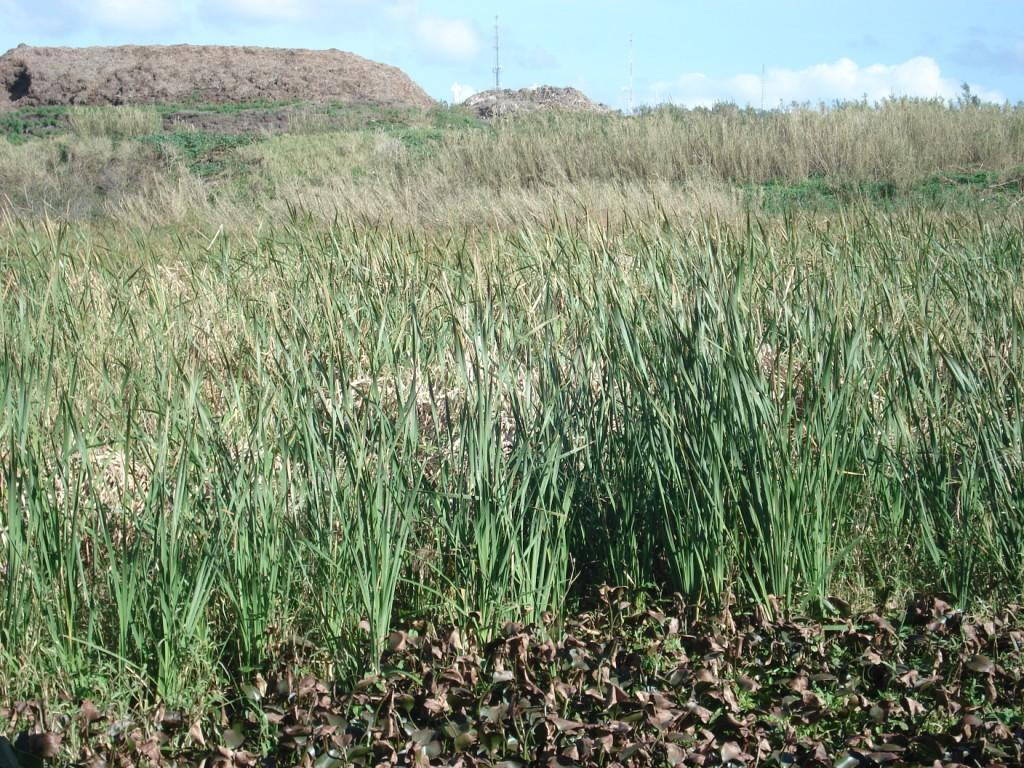 Cattails and Water Hyacinth