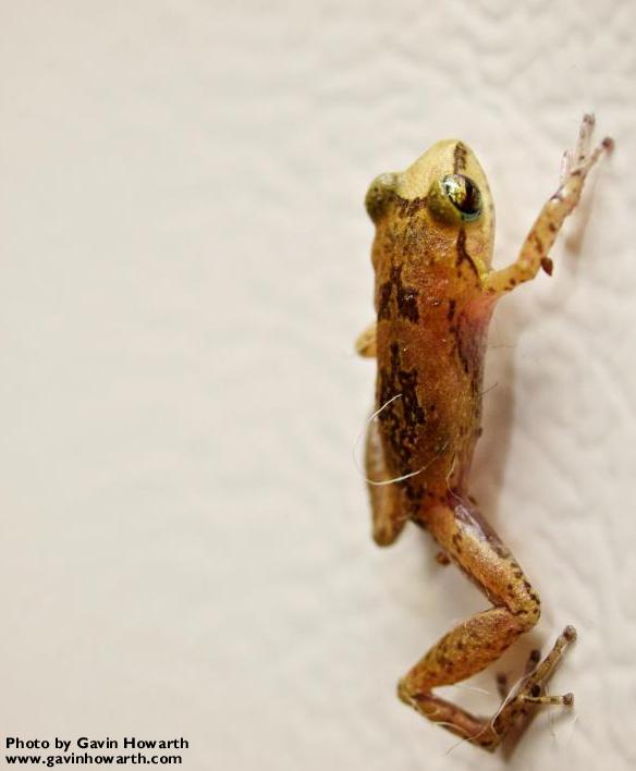 Whistling Frog on fridge2.jpg