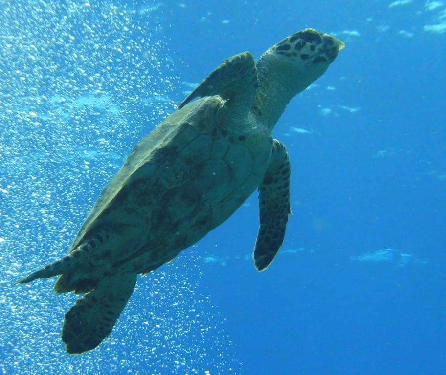 Young hawksbill turtle - note the hooked beak