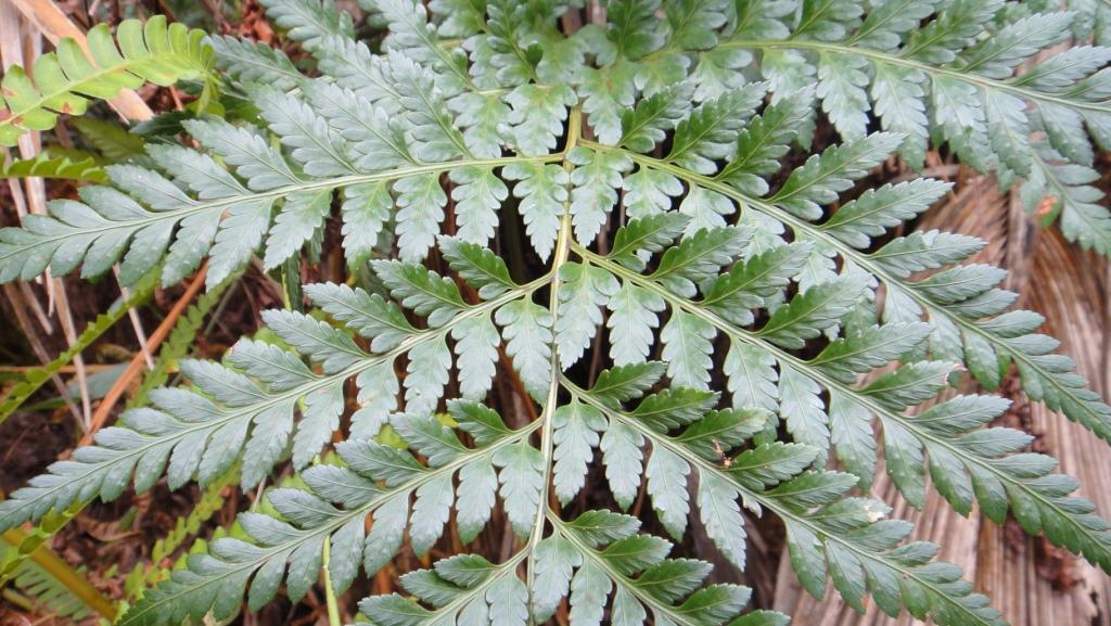 Ten Day Fern