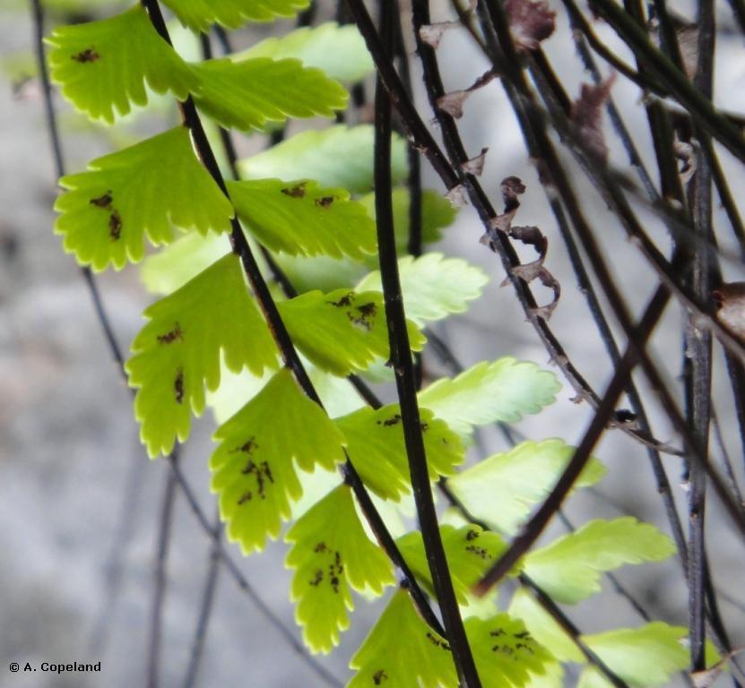 Spores of Long Spleenwort