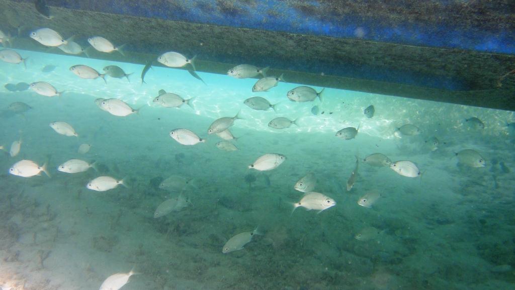 Bermuda Bream
