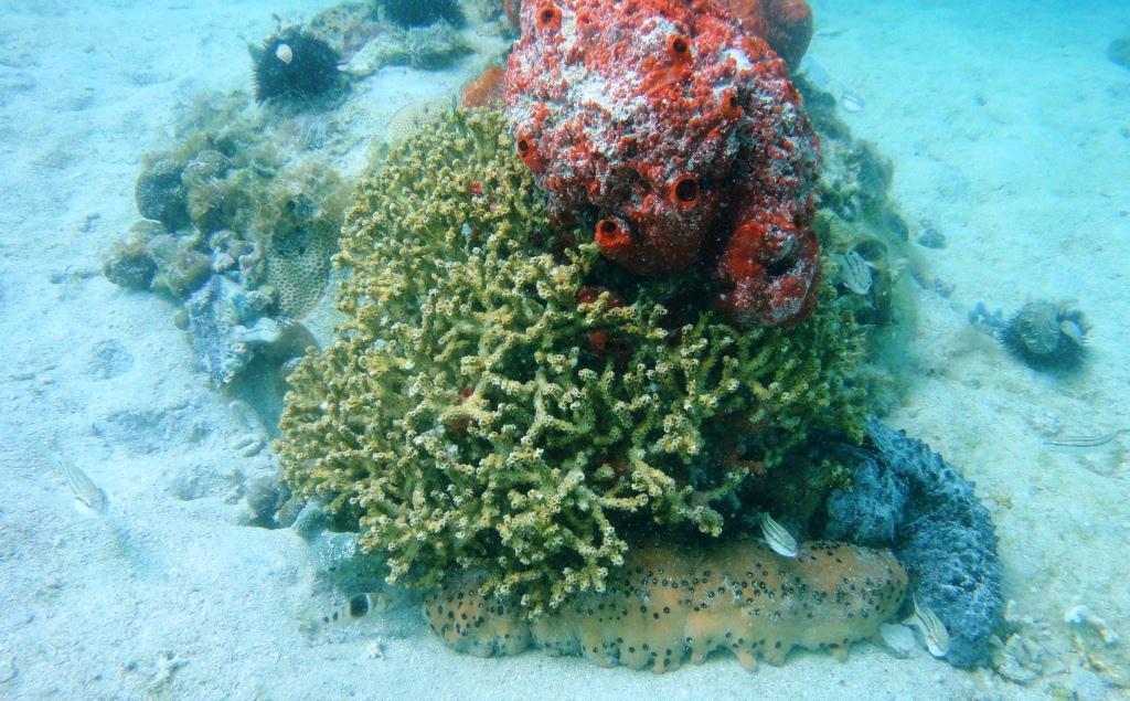 Oculina Coral and Sea Puddings