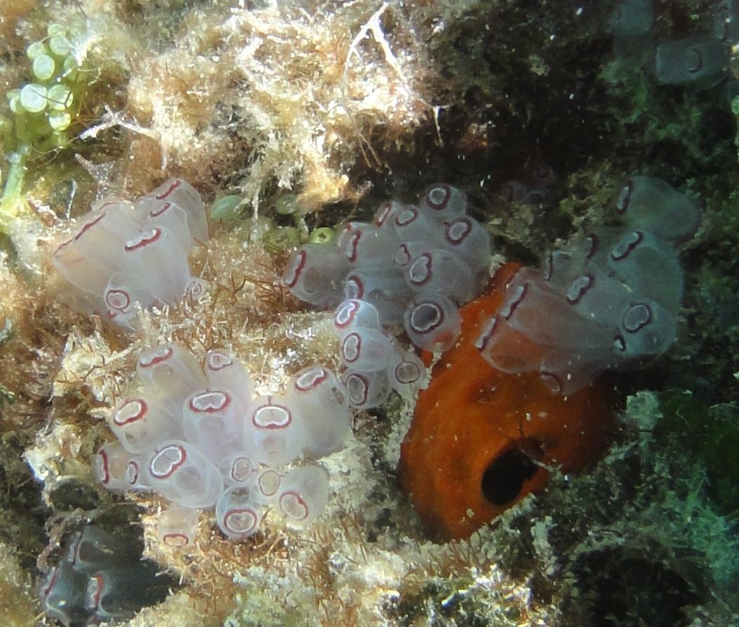 Purple Sea Squirt