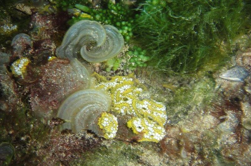 Lacy Sea Squirt