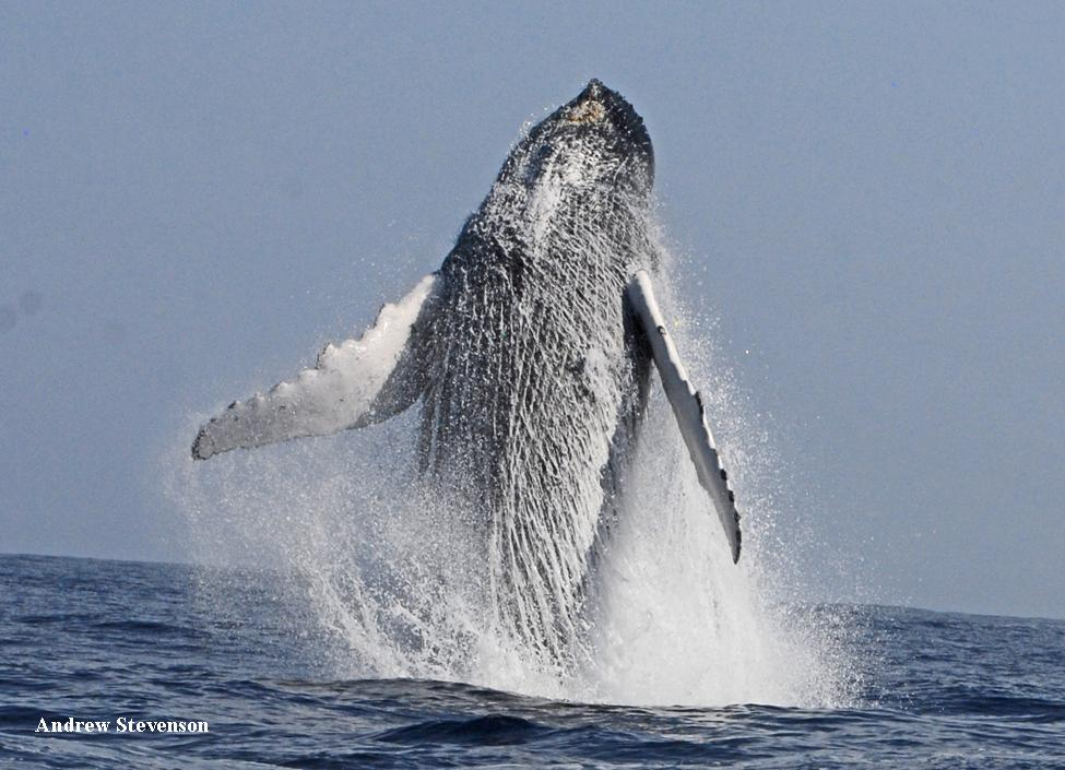 Humpback whale breaching off Bermuda