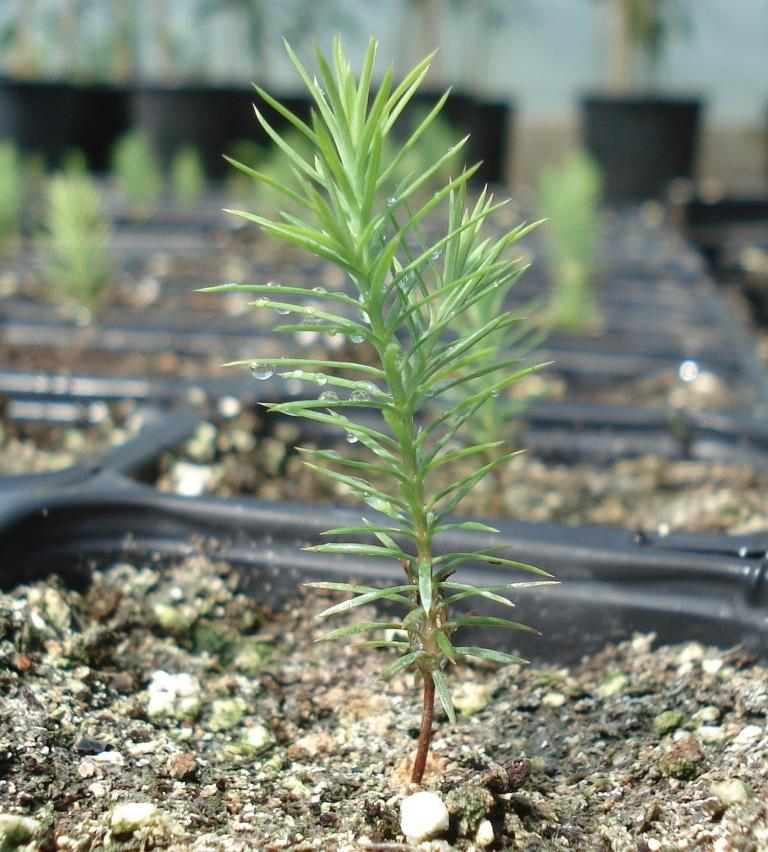 Greenhouse-propagated Cedar seedlings