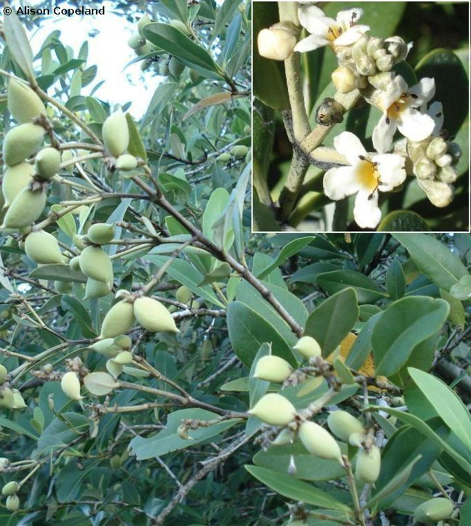 Black Mangrove seeds and flowers