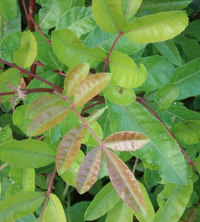 Brazil Pepper leaves