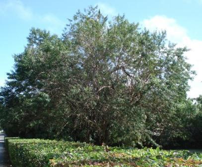 Large Brazil Pepper in a Pembroke garden