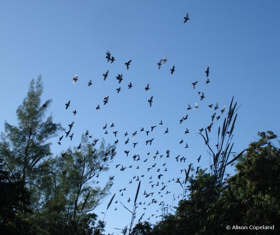 Flock of pigeons over Spittal Pond