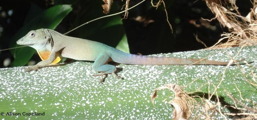 Male Jamaican Anole with dewlap extended