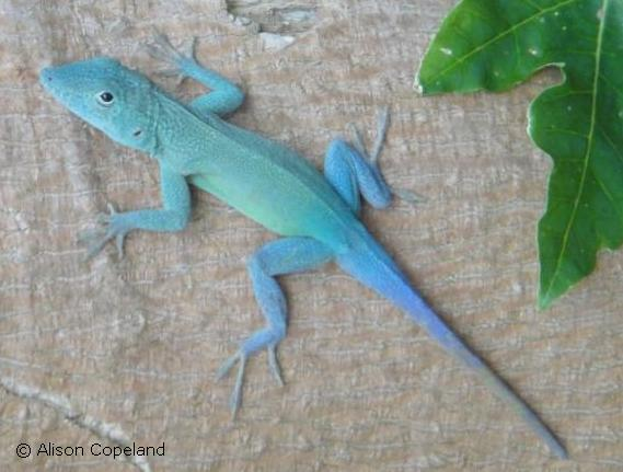 Male Jamaican Anole