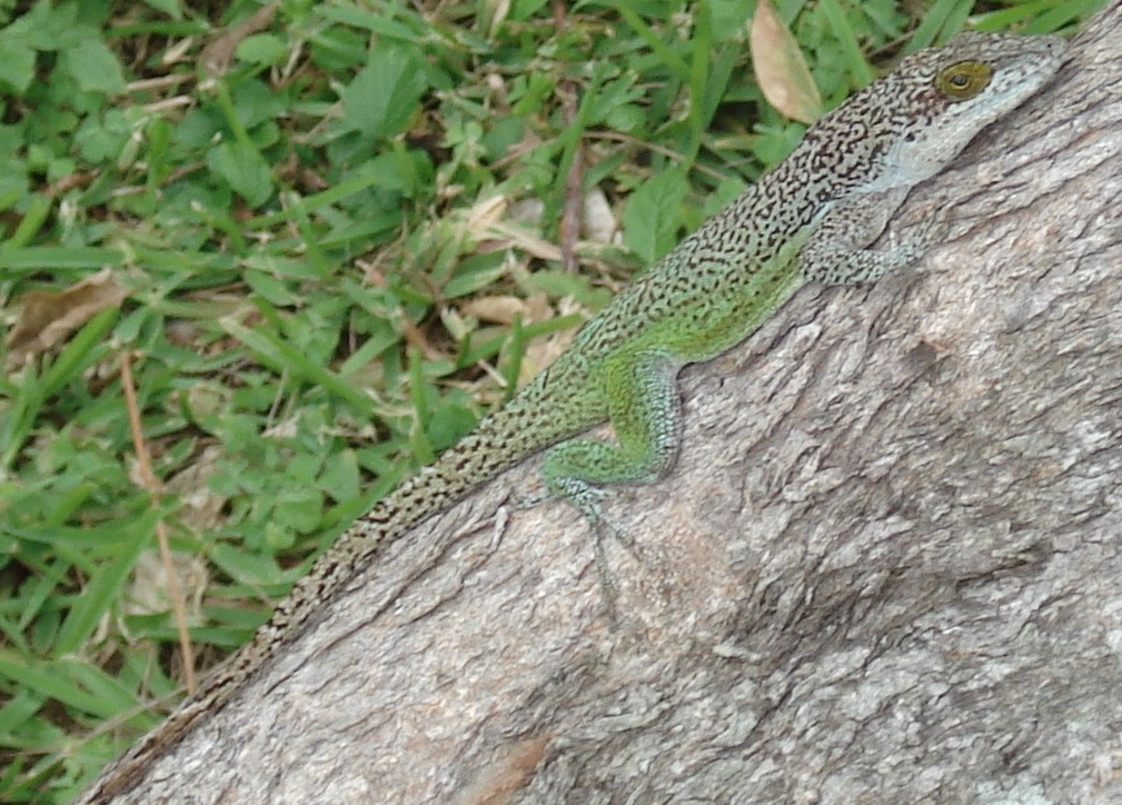 Male Antiguan Anole, note the large golden eye