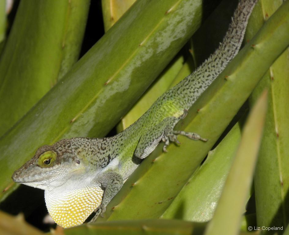 Male Antiguan Anole with dewlap extended