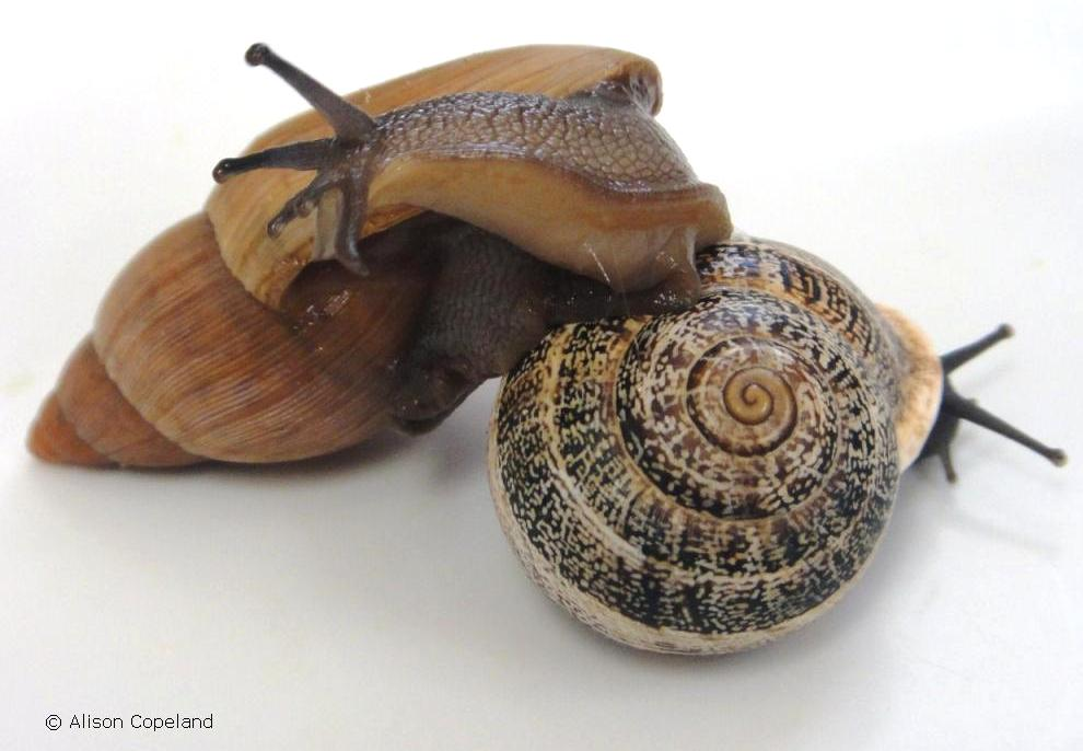 Rosy Wolf Snail and its prey in Bermuda, the  Milk Snail