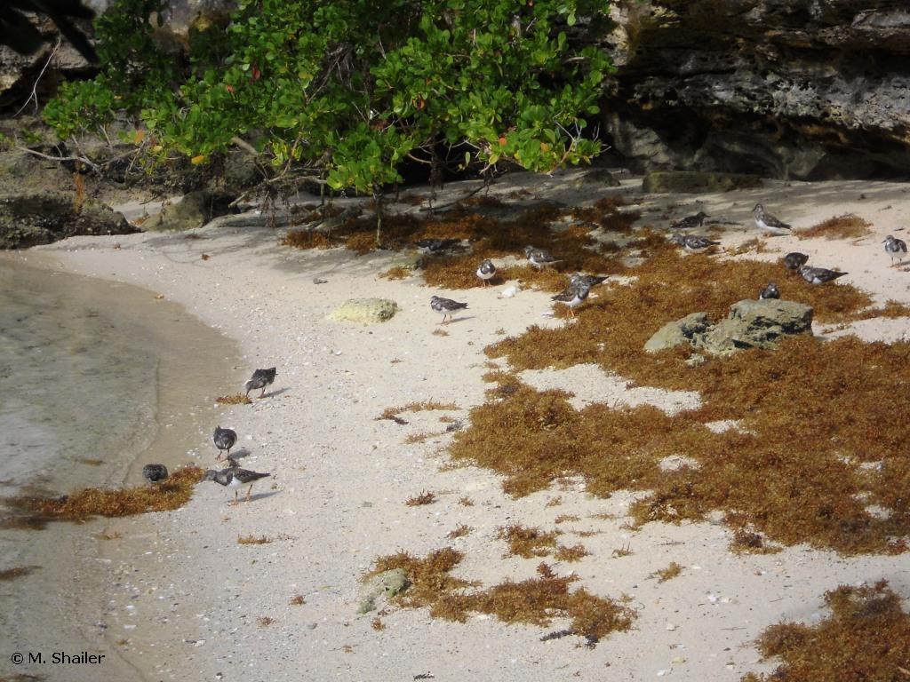 Ruddy Turnstones foraging in beached Sargassum