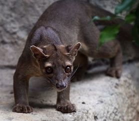 Fossa (photo by the Royal Gazette)