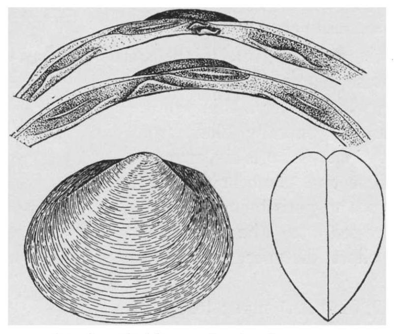 Sketch of P. volutabundum from Vanatta 1910