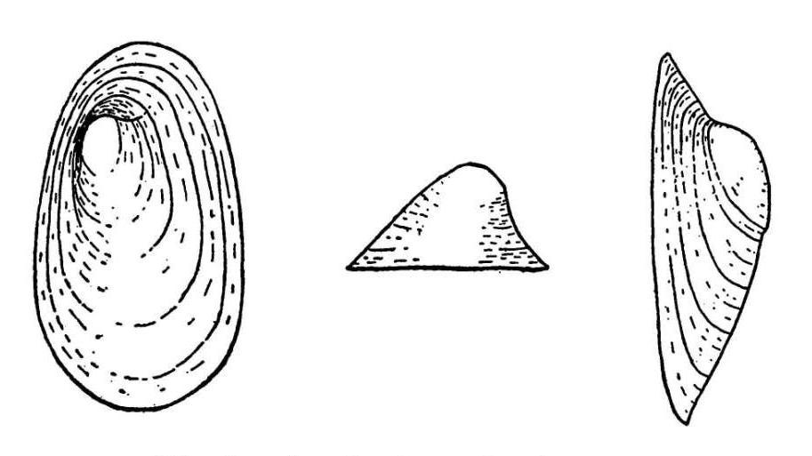 Sketch of A. bermudensis from Vanatta 1910