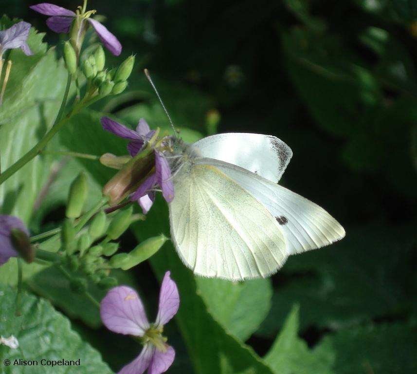 Cabbage White on Wild Mustard. Photo by Alison Copeland