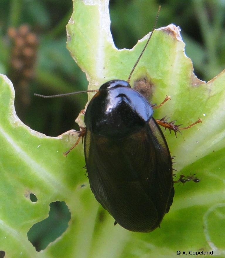 Surinam Cockroach feeding on cabbage plant.