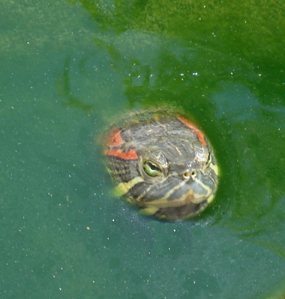 Red Eared Slider The Department Of Environment And Natural Resources
