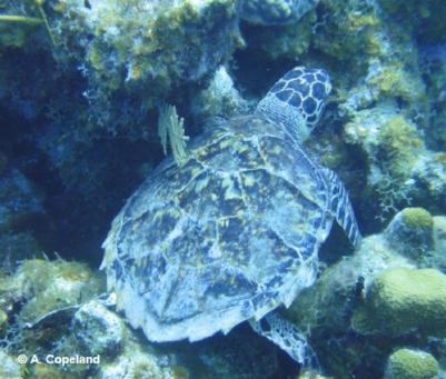 Hawksbill turtle feeding on sponges on a coral reef