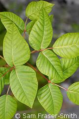 poison ivy leaves.JPG