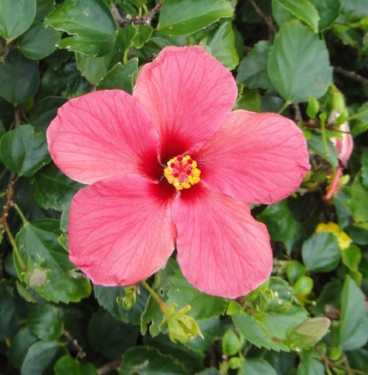 Pink Hibiscus is an introduced species common in Bermuda
