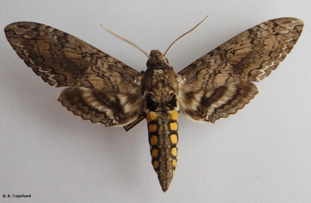 Carolina Sphinx Moth ( Manduca sexta )