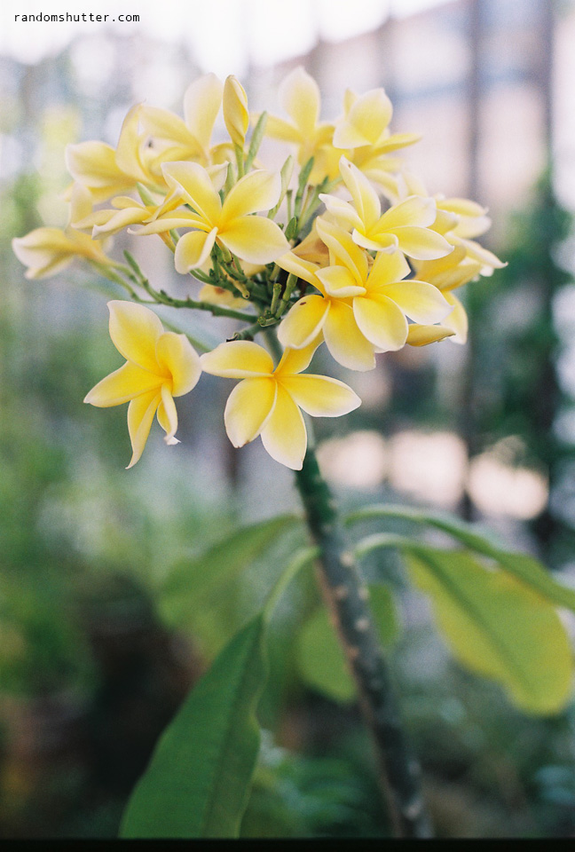 Another look at the yellow frangipani