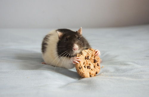 Okay, I think it's a rat and not a mouse...