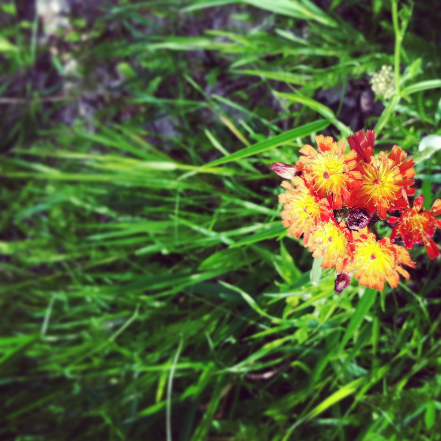 The wildflowers in Ontonagon were gorgeous. I think these are called Indian Paintbrushes.