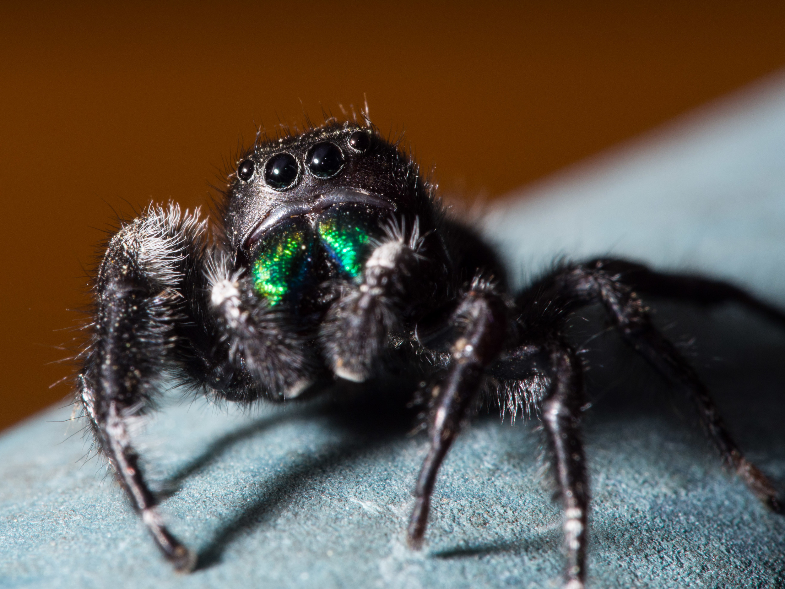 Little jumping spider no larger than my index fingernail.