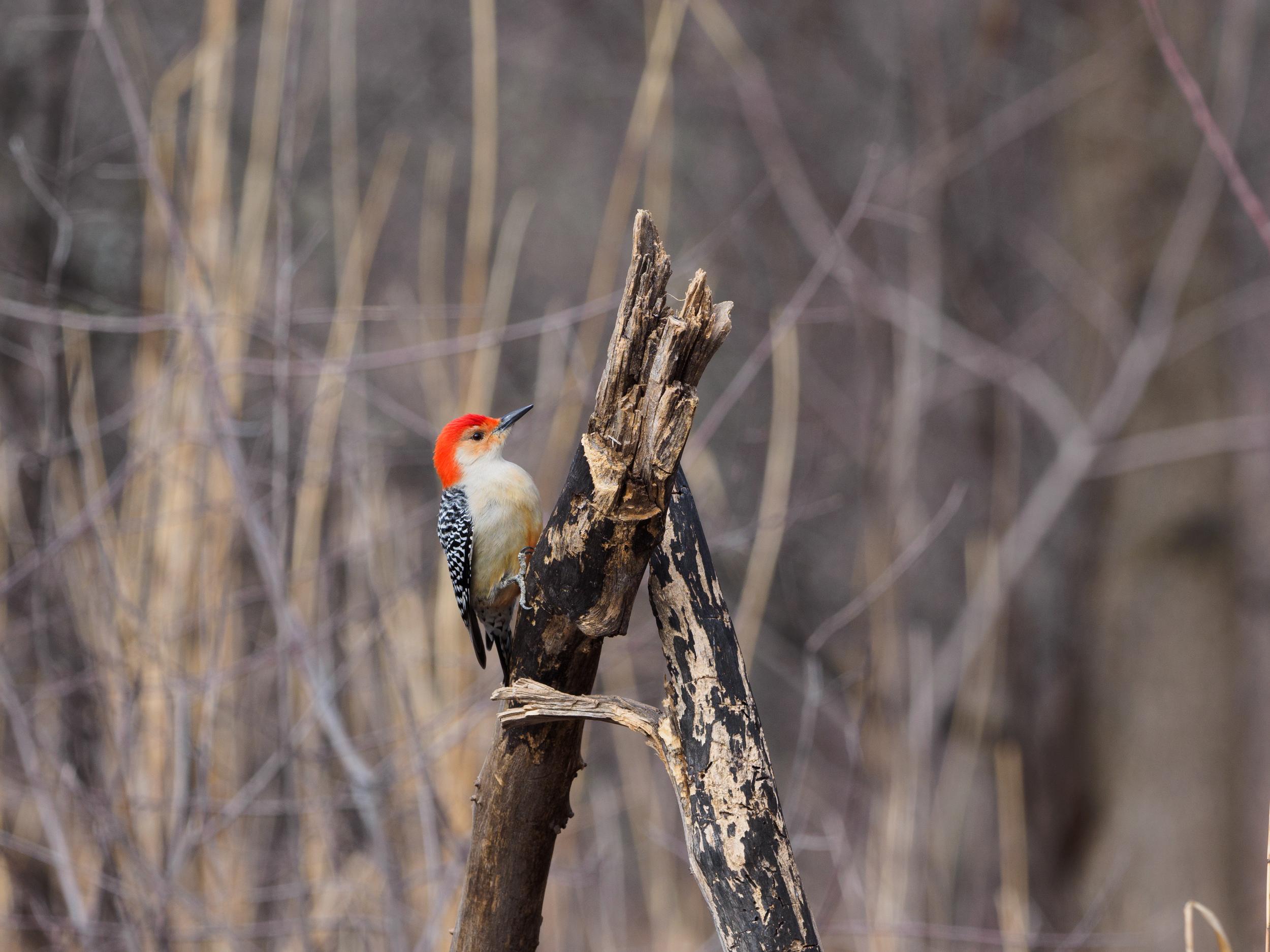 Red Bellied Woodpecker Oakland County Michigan E-M1 + mZuiko 300mm f/4 PRO + MC-14 Teleconverter.