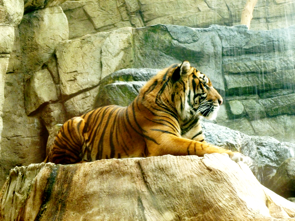 Heran, I think, a Sumatran tiger at the Downtown Aquarium