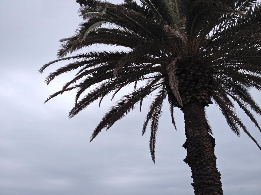 Santa-Monica-Palm-Tree.jpg