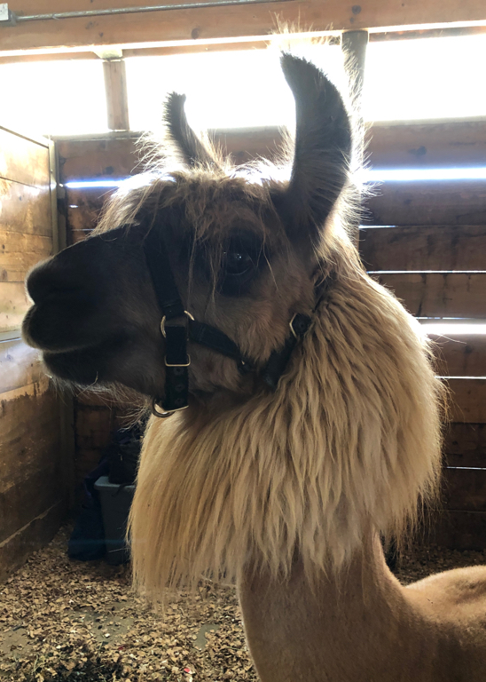 Learn how to shop at a fiber festival, and follow along with me for the day at Estes Park Wool Market 2019. | withwool.com  #fiberfestival #epwoolmarket #spinning #knitting #estespark #llama