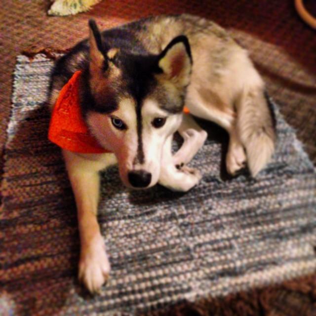 Even Roxy wears her blaze orange bandana when hunting at Grandma's.