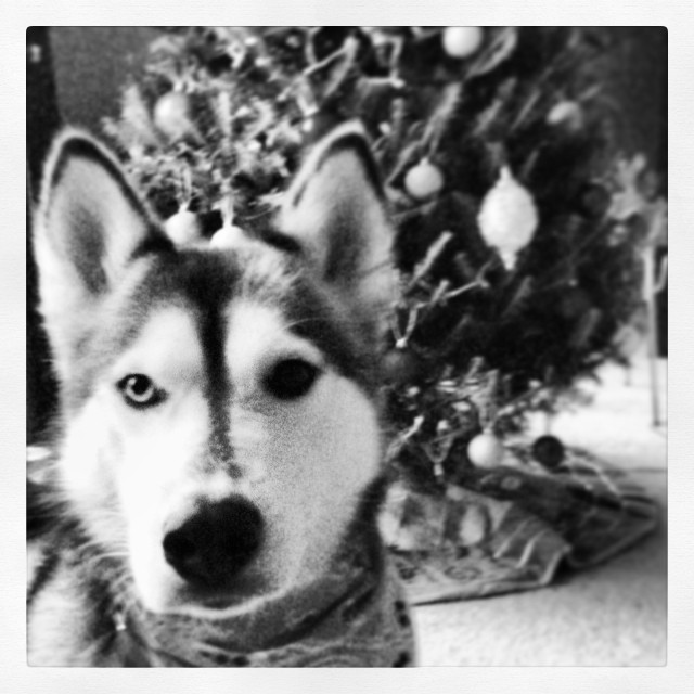"""""""Tell me more about this intruder with the beard I'm not allowed to bite?!"""" #MerryChristmas #husky #dogsofinstagram"""