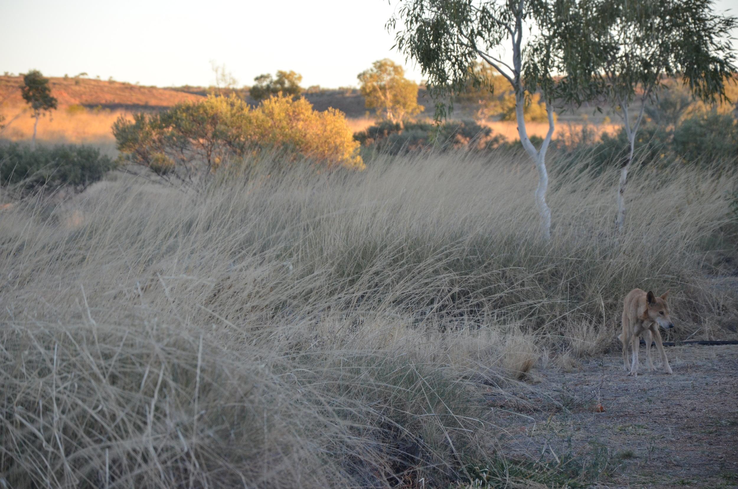 A dingo exploring our camp.