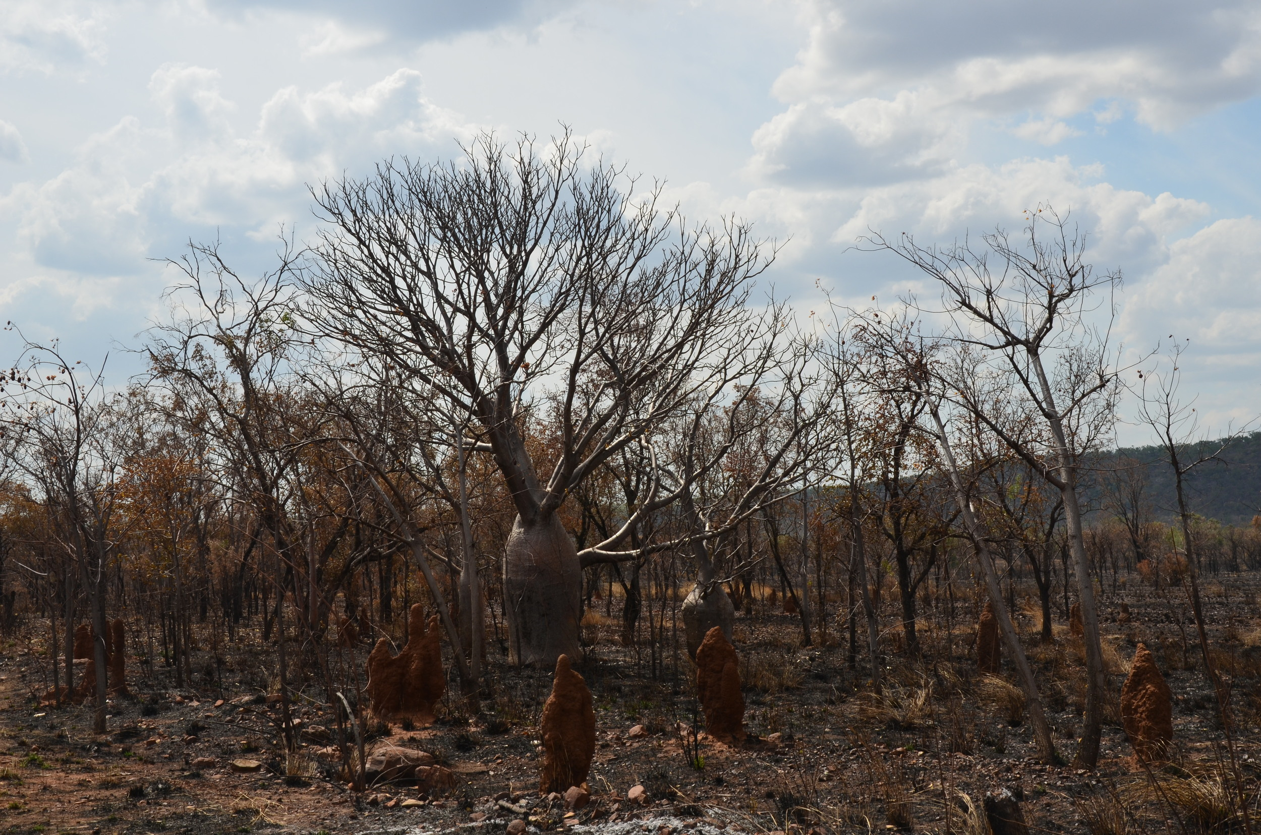 A bottle tree and termite hills stand out in the burnt outback...